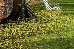 Kathy-Brown-aconites-beneath-the-lime-trees-20210202_131140