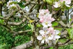 2-Apple-Blossom.