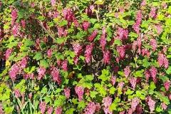 4-Flowering-Currant
